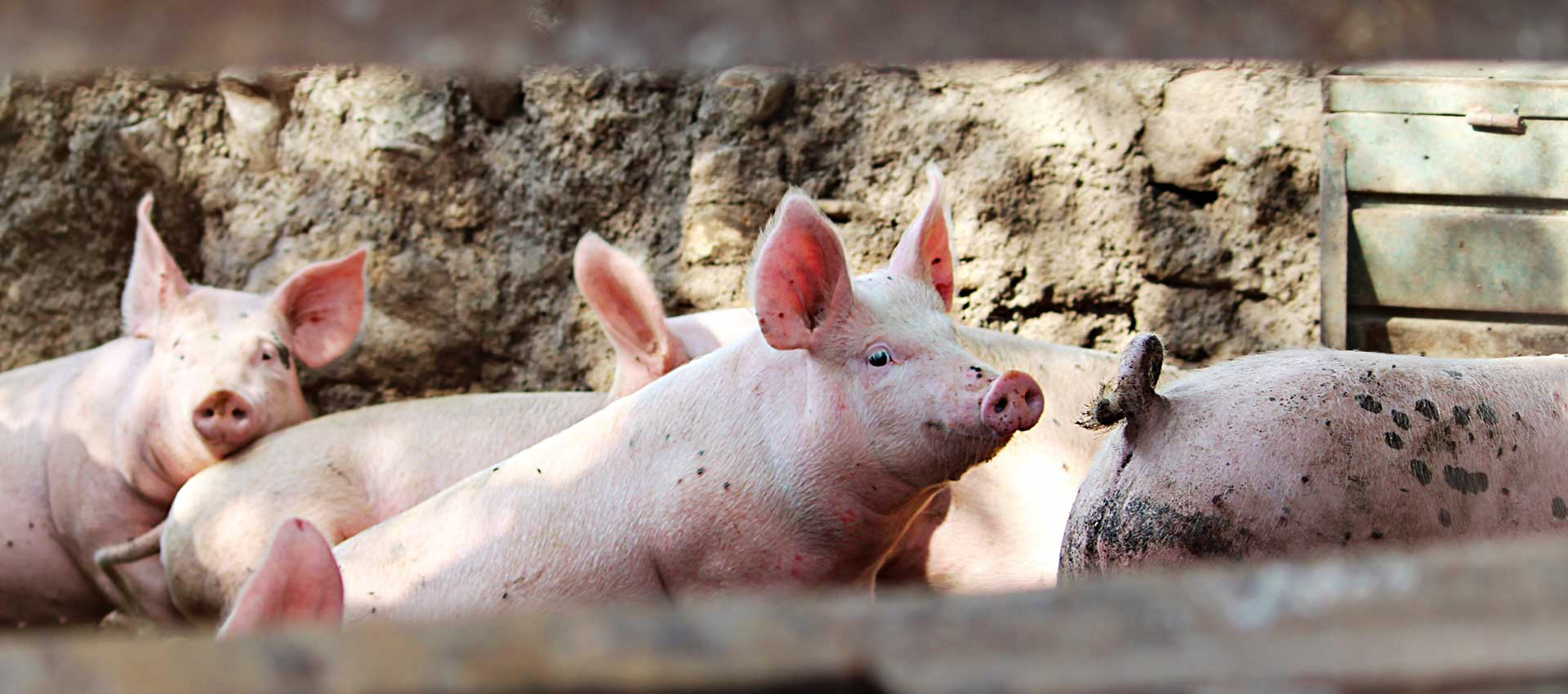 What is Swine Flu and What Are The Risks
